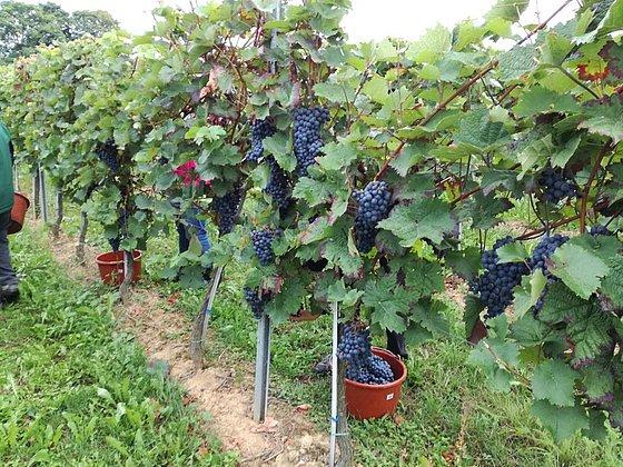 Trauben, Saft und Wein aus den eigenen Weinbergen